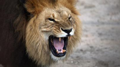 Lwy zaatakowały samochód w brytyjskim parku Safari!